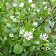 Chickweed 100 grams - Stellaria media